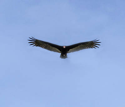Photograph - Turkey Vulture Flying Toward You by William Bitman