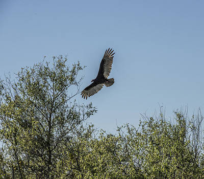 Photograph - Turkey Vulture Flying by William Bitman