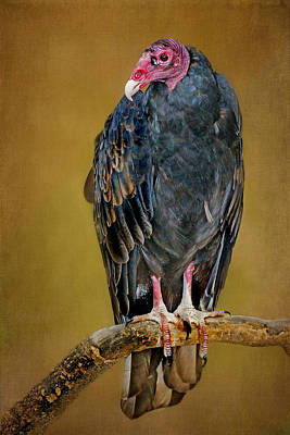 Vulture Photograph - Turkey Vulture by Nikolyn McDonald