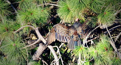 Photograph - Turkey Vulture Spread by Joyce Dickens