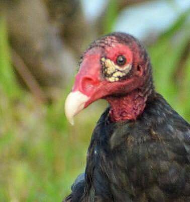 Photograph - Turkey Vulture  by Sumoflam Photography