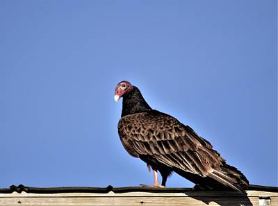 Photograph - Turkey Vulture by Warren Thompson