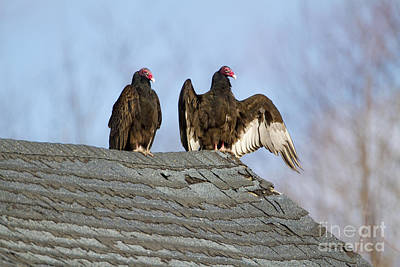 Sun Aura Photograph - Turkey Vultures On Roof by Marie Read