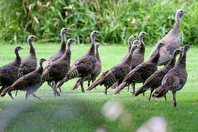 Photograph - Turkeys by Brook Burling