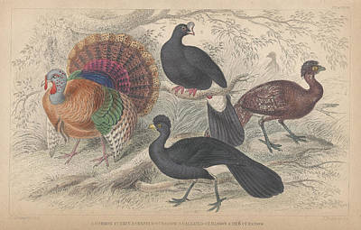 Turkey Drawing - Turkeys by Rob Dreyer