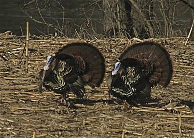Turkeystrutin Art Print by Robert Pearson