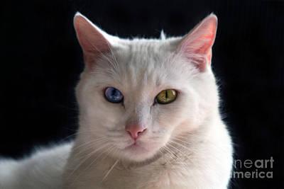 Turkish Angora Cat With Odd Eyes Art Print by Catherine Sherman