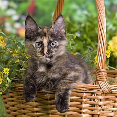Baby In Basket Photograph - Turkish Angora Kitten by Jean-Michel Labat