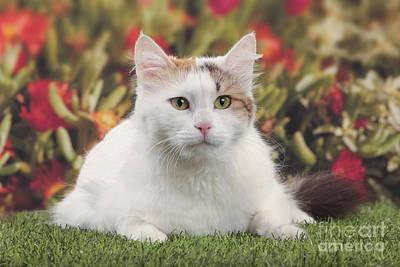Longhair Cats Photograph - Turkish Van Cat by Jean-Michel Labat