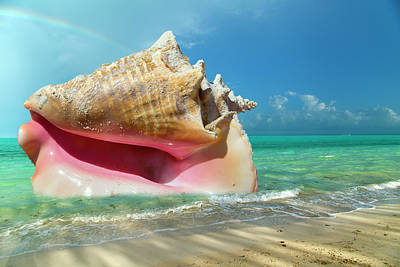 Royalty-Free and Rights-Managed Images -  Conchquered by Betsy Knapp
