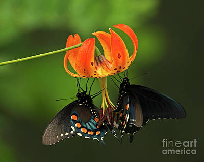 Photograph - Turks Cap Lilly And Butterflies, Blue Ridge Parkway by Schwartz Nature Images