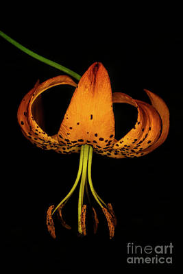 Photograph - Turk's Cap Lily by Barbara Bowen