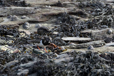 Photograph - Turnstone by Brian Roscorla