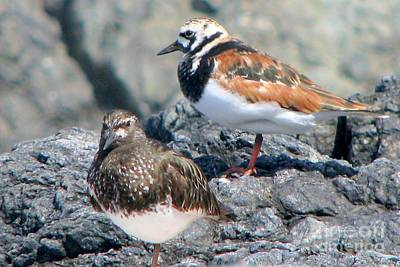 Photograph - Turnstone Cousins by Frank Townsley