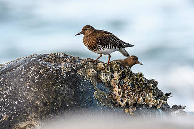 Photograph - Turnstones And Barnacles by Robert Potts