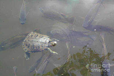Photograph - Turtle Amongst Fish by Mary Mikawoz