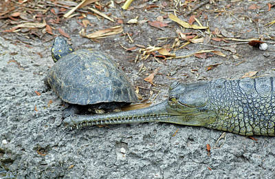 Photograph - Turtle And Indian Gharial by Larah McElroy