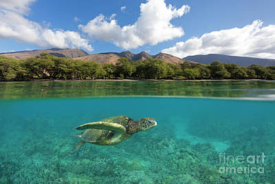 Digital Art - Turtle At Olowalu, Maui. by David Olsen