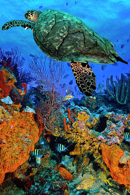 Photograph - Turtle At The Reef by Debra and Dave Vanderlaan