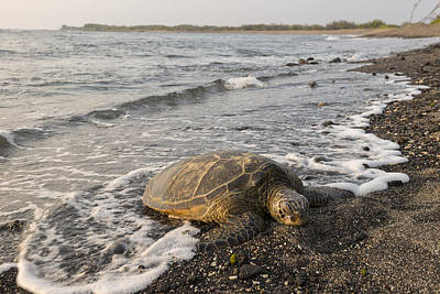 Green Sea Turtle Photograph - Turtle Beach by Christian Heeb