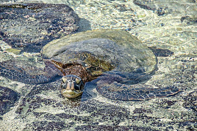 Photograph - Turtle Camouflage by David Lawson