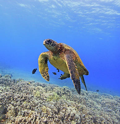 Undersea Photograph - Turtle by Chris Stankis