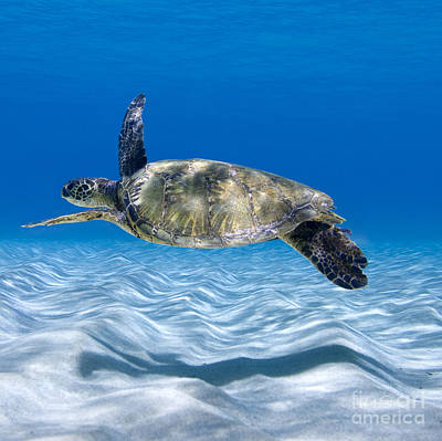 Hawaii Sea Turtle Photograph - Turtle Flight -  Part 2 Of 3  by Sean Davey
