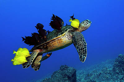 Turtle Grooming Art Print