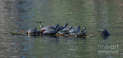 Photograph - Turtle Hang Out by Dale Powell