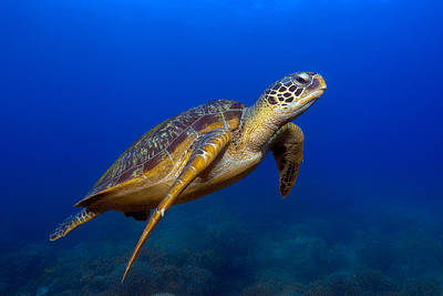 Turtle Photograph - Turtle by Henry Jager