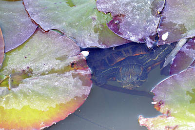 Photograph - Turtle Hiding In Lilies  by Brent Dolliver