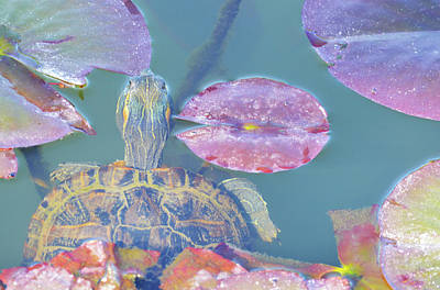 Photograph - Turtle In The Lilies  by Brent Dolliver