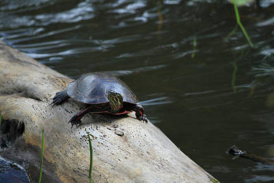 Photograph - Turtle by Jackson Pearson