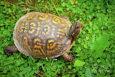 Turtle Original