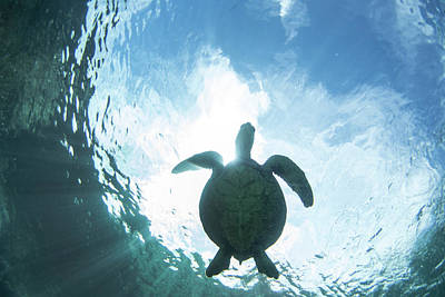 Honu Photograph - Turtle Light by Sean Davey