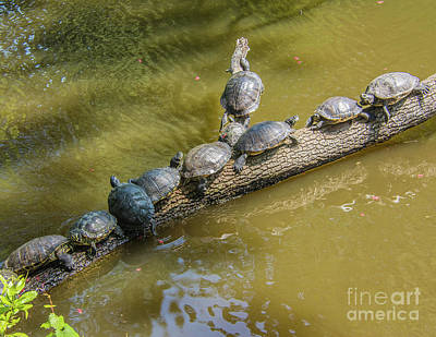 Photograph - Turtle Log Jam by John Greco