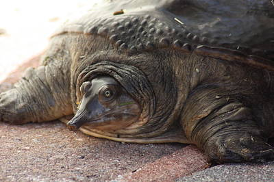 Art Print featuring the photograph Turtle by Michael Albright