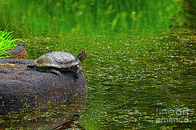Pond Slider Photograph - Turtle On A Rock 2 by Sharon Talson