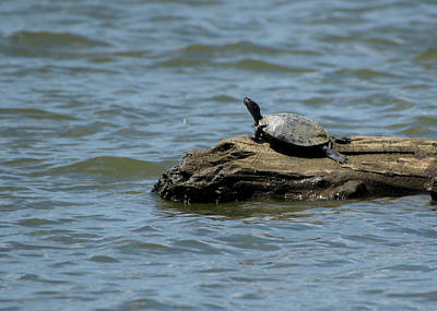 Photograph - Turtle On Log by Buddy Scott
