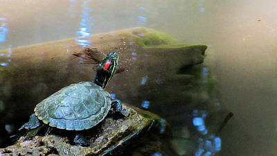 Photograph - Turtle On Rock by Mark Barclay