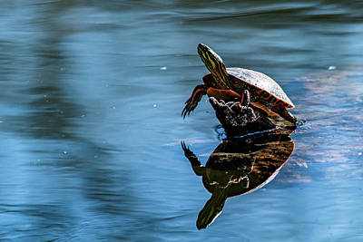 Photograph - Turtle Paradise by Randy Scherkenbach