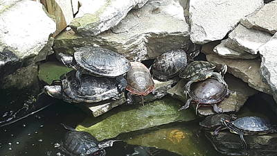 Lamberton Conservatory Photograph - Turtle Party by Lisa Payne