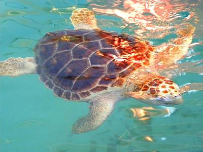 On Paper Photograph - Turtle Play by Patricia Bigelow