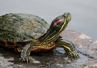 Turtle Portrait Art Print by Denise McKay
