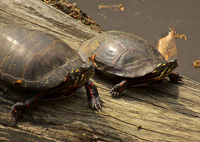 Photograph - Turtle Racing by Kathi Isserman