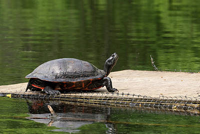 Photograph - Turtle Snobbery by Bill Jordan