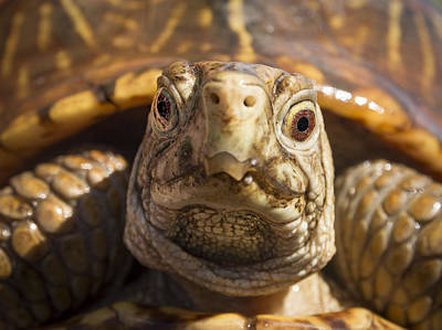 Box Turtle Photograph - Turtle Stare by Jean Noren