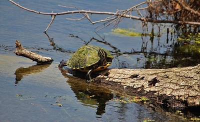 Slider Photograph - Turtle Stretch  by Cynthia Guinn
