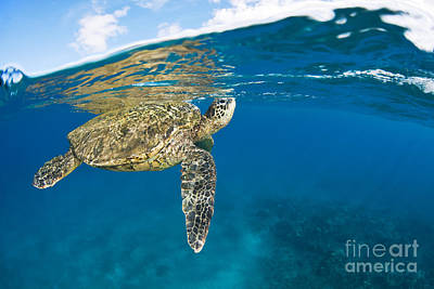 Green Sea Turtle Photograph - Turtle Taking A Breath by Dave Fleetham - Printscapes