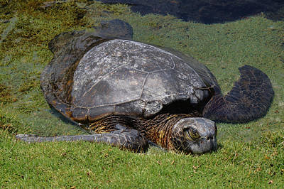 Photograph - Turtle Taking A Nap by Pamela Walton
